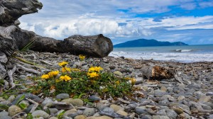 Beach Blossom, New Zealand landscape photography